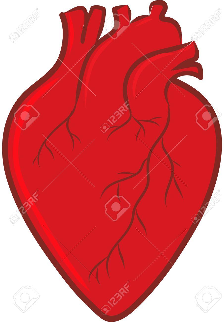 905x1300 Cute Anatomical Heart Images Organs Clipart Human Heart