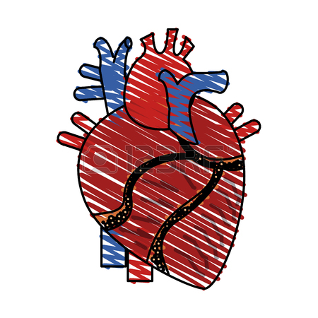450x450 Flat Line Uncolored Anatomical Heart Over White Background Vector
