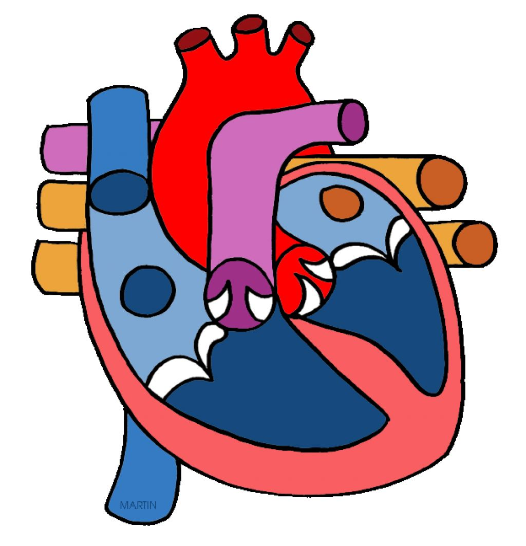 1024x1063 Heart Clipart Anatomic