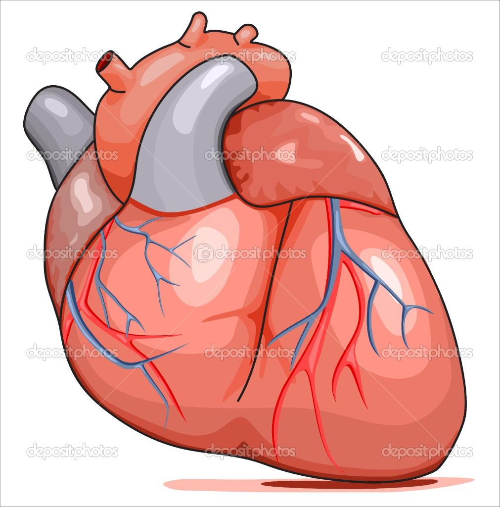 1011x1024 Anatomical Heart Cartoon Organs Clipart Human Heart