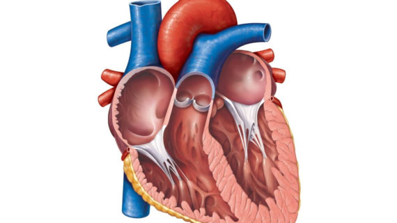 570x320 Anatomical Heart Chambers Anatomy Of The Heart Chambers