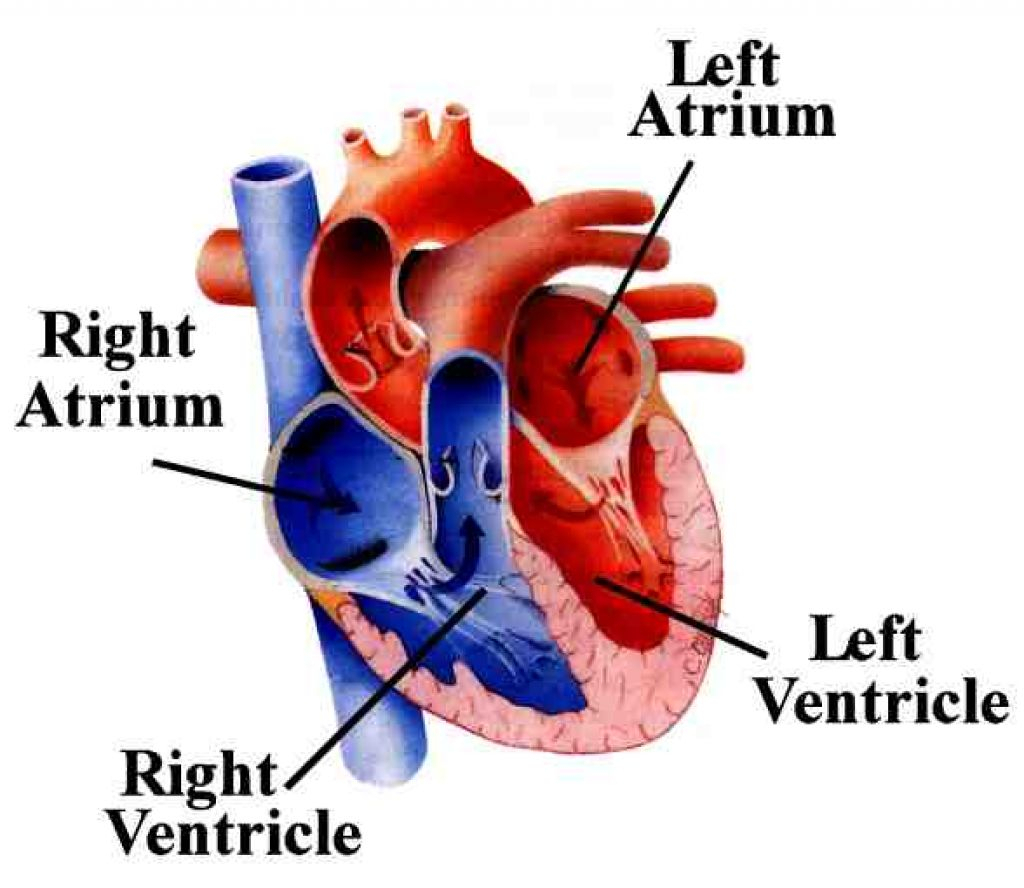 Anatomical Heart Pictures | Free download best Anatomical Heart ...