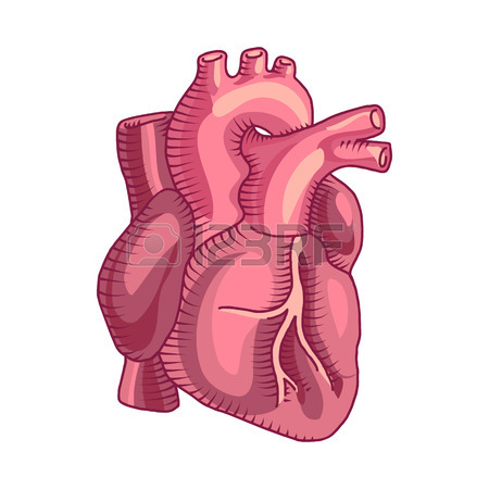 450x450 Anatomical Heart Isolated. Muscular Organ In Humans And Animals