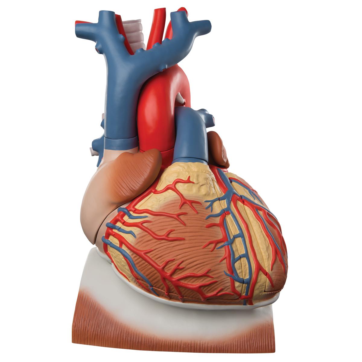 1200x1200 Anatomical Heart Model