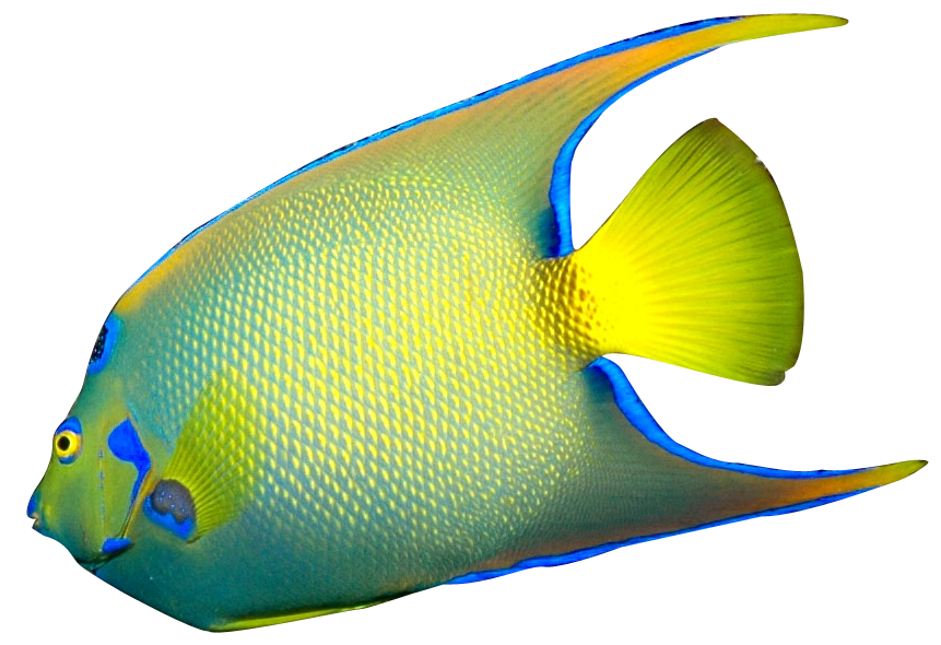 861x590 Queen Angelfish Clipart Panda