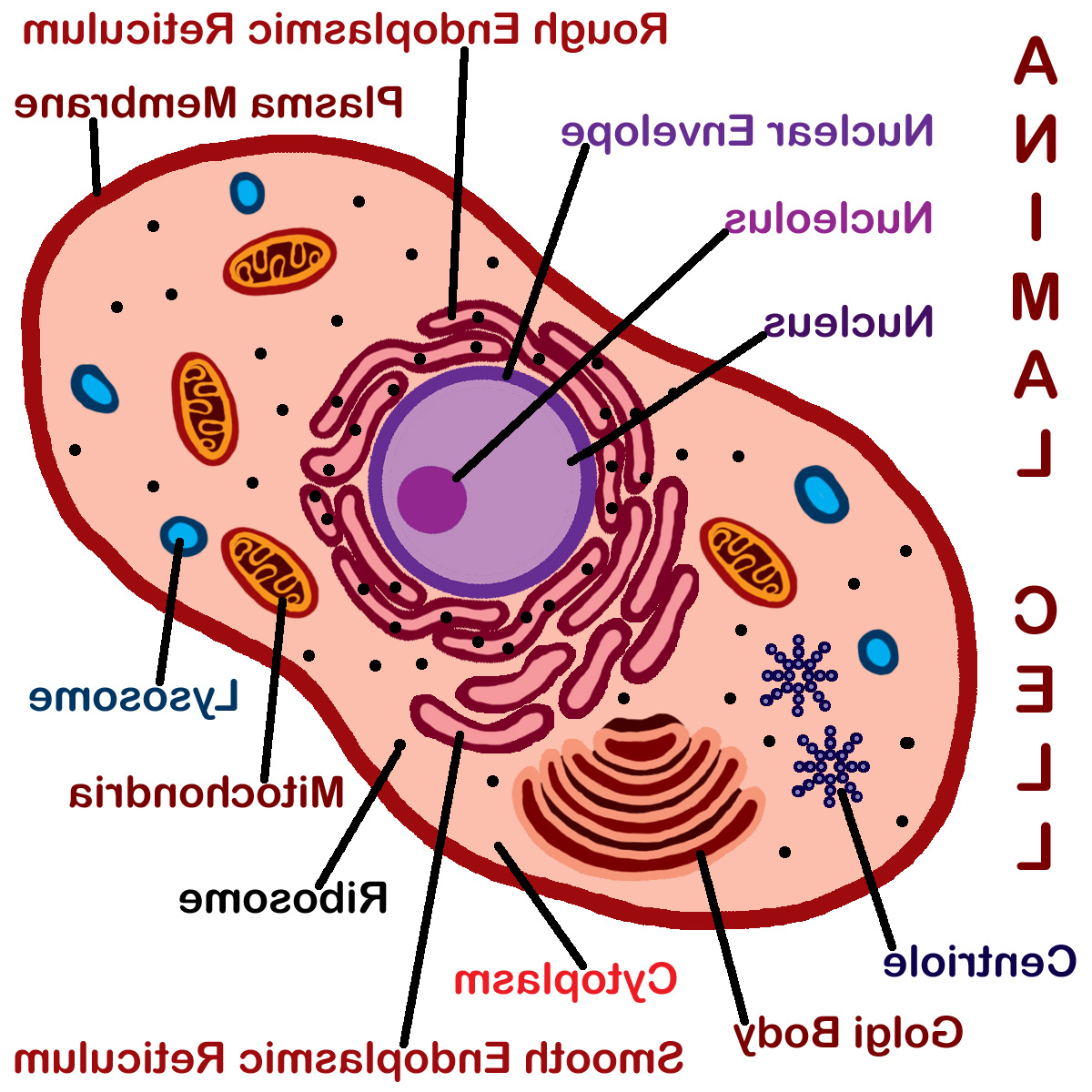 1200x1200 animal cell drawing with labels animal cell unlabeled free