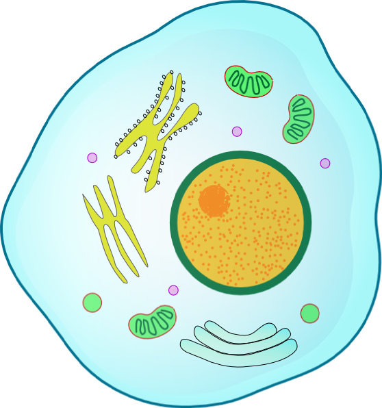 558x596 Animal Cell Clip Art