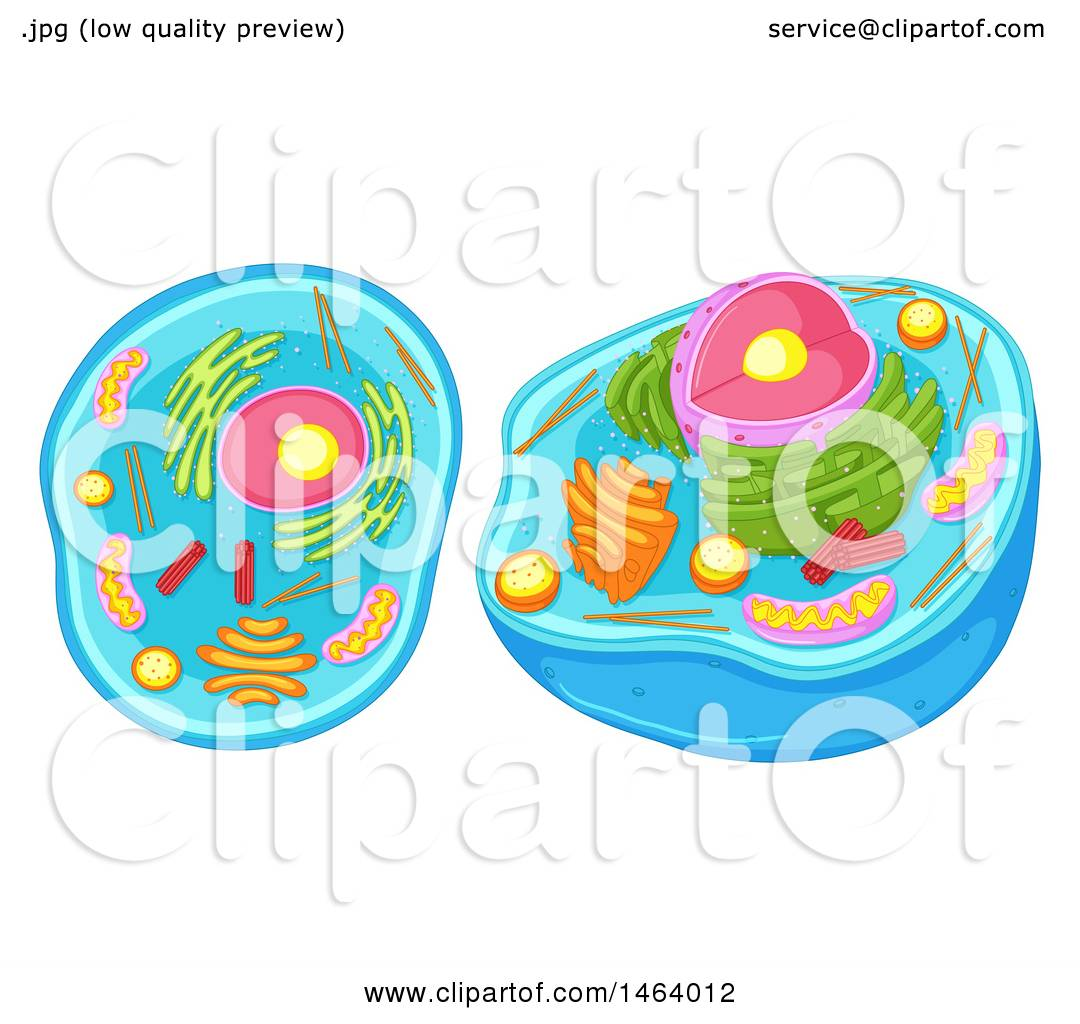 1080x1024 Clipart Of A Diagram Of An Animal Cell