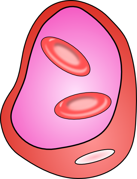 456x595 Erythrocyte Red Blood Cell Clip Art