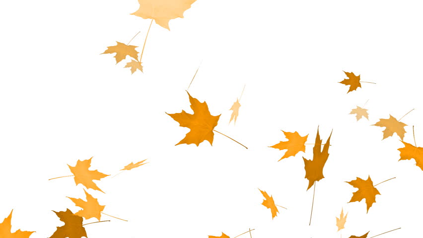 852x480 Falling Maple Animation Stock Footage Video 2712926 Shutterstock