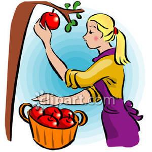 300x300 Harvesting Apples