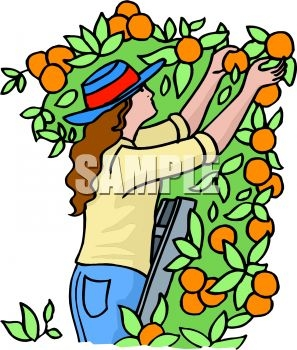 297x350 Picking Fruit Clip Art Cliparts