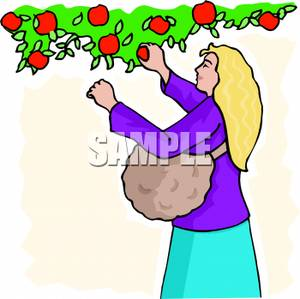 300x299 Woman Picking Apples From A Tree Clipart Image