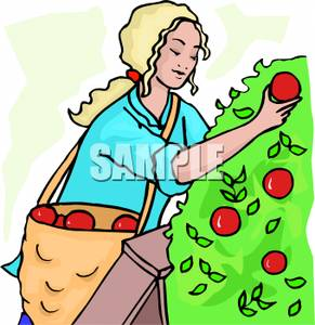 291x300 Woman Picking Apples Off An Apple Tree