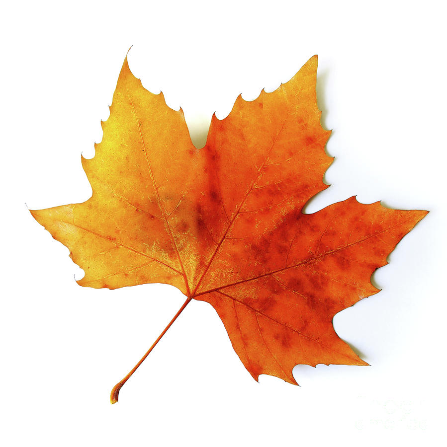 899x900 Fall Leaves Icon