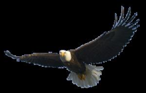 300x192 Lovely Bald Eagle Clip Art Bald Eagle Png Transparent Images Free