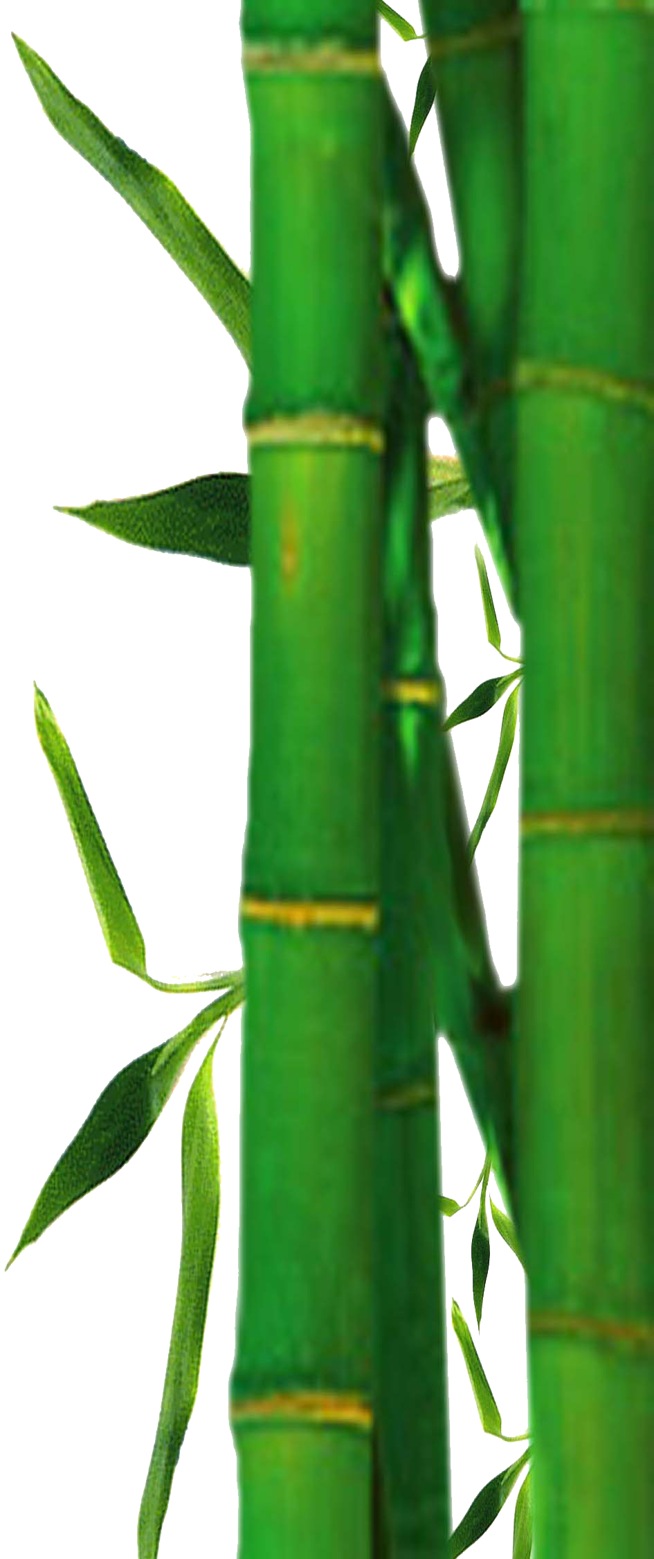 945x2250 Bamboo Clipart