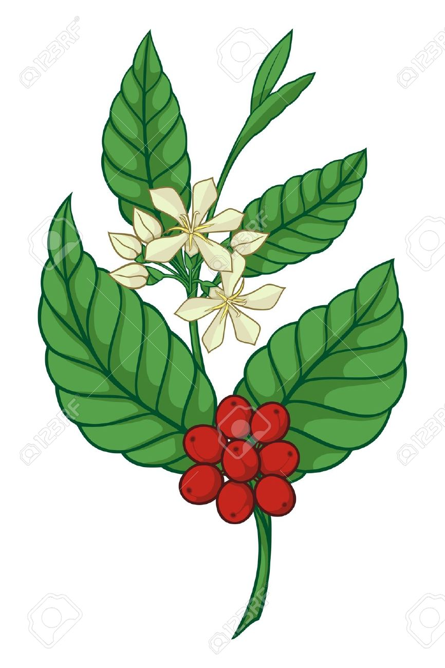 Bean Plant Clipart   Free download on ClipArtMag