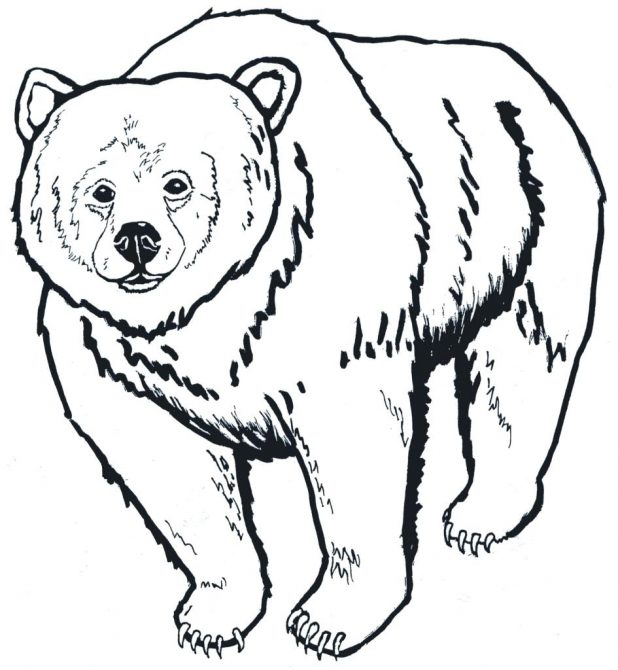 618x670 Polar Bear Outline Drawing Bears Coloring Pages Free Printouts