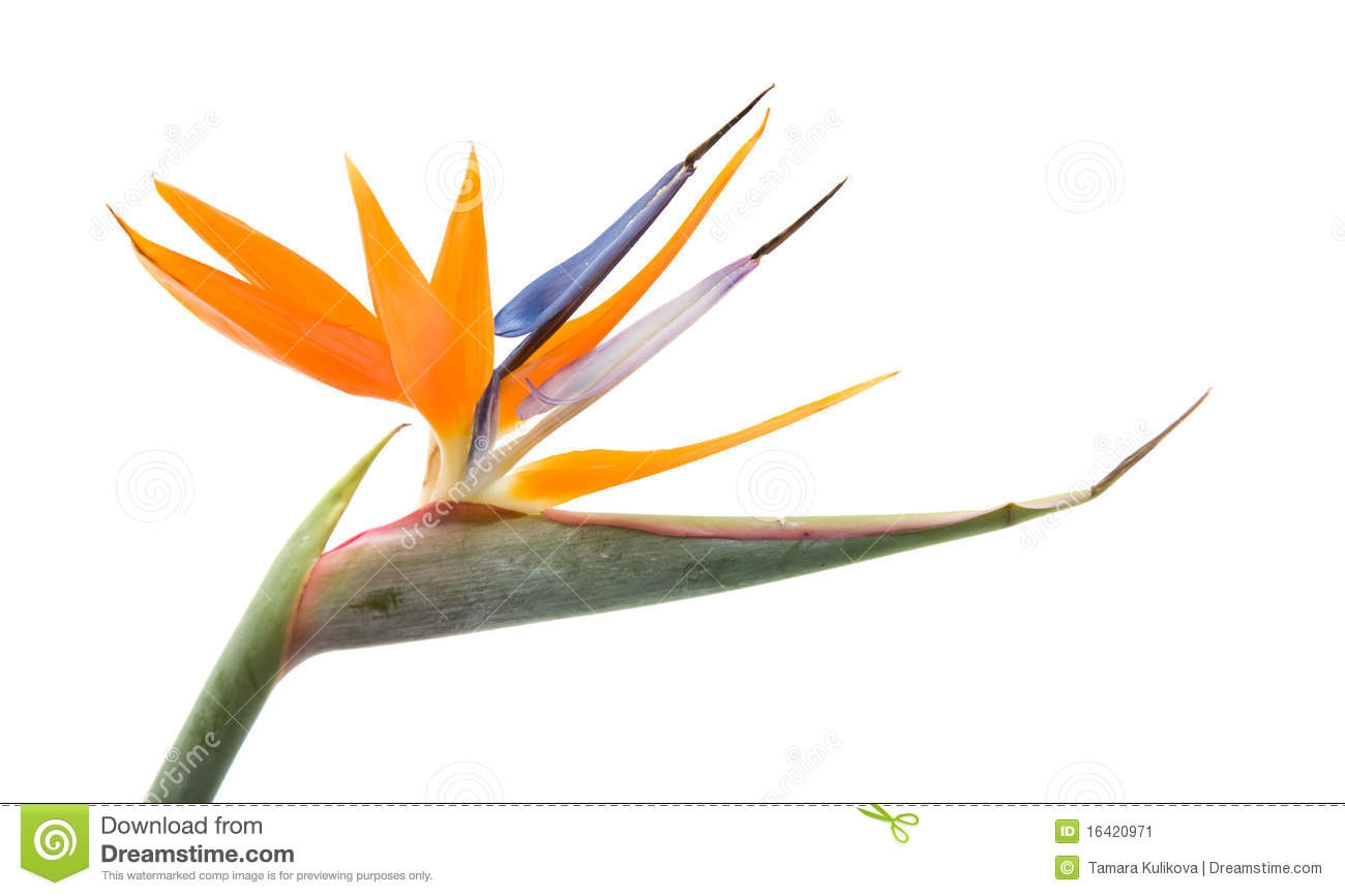 1300x866 Bird Of Paradise Flower Clip Art