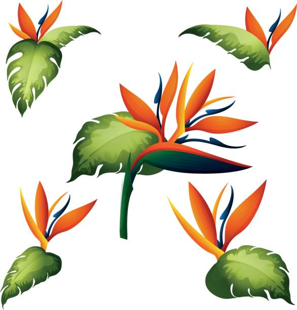 585x612 Bird Of Paradise Clipart Cartoon