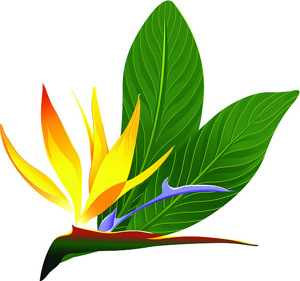 612x575 Bird Of Paradise Clipart Colorful Bird