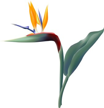 340x351 Bird Of Paradise Flower Clip Art