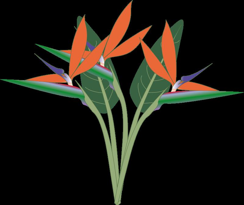 800x673 Free Bird Of Paradise Flower Clip Art