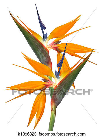 360x470 Stock Photo Of Bird Of Paradise Strelitzia K1356323