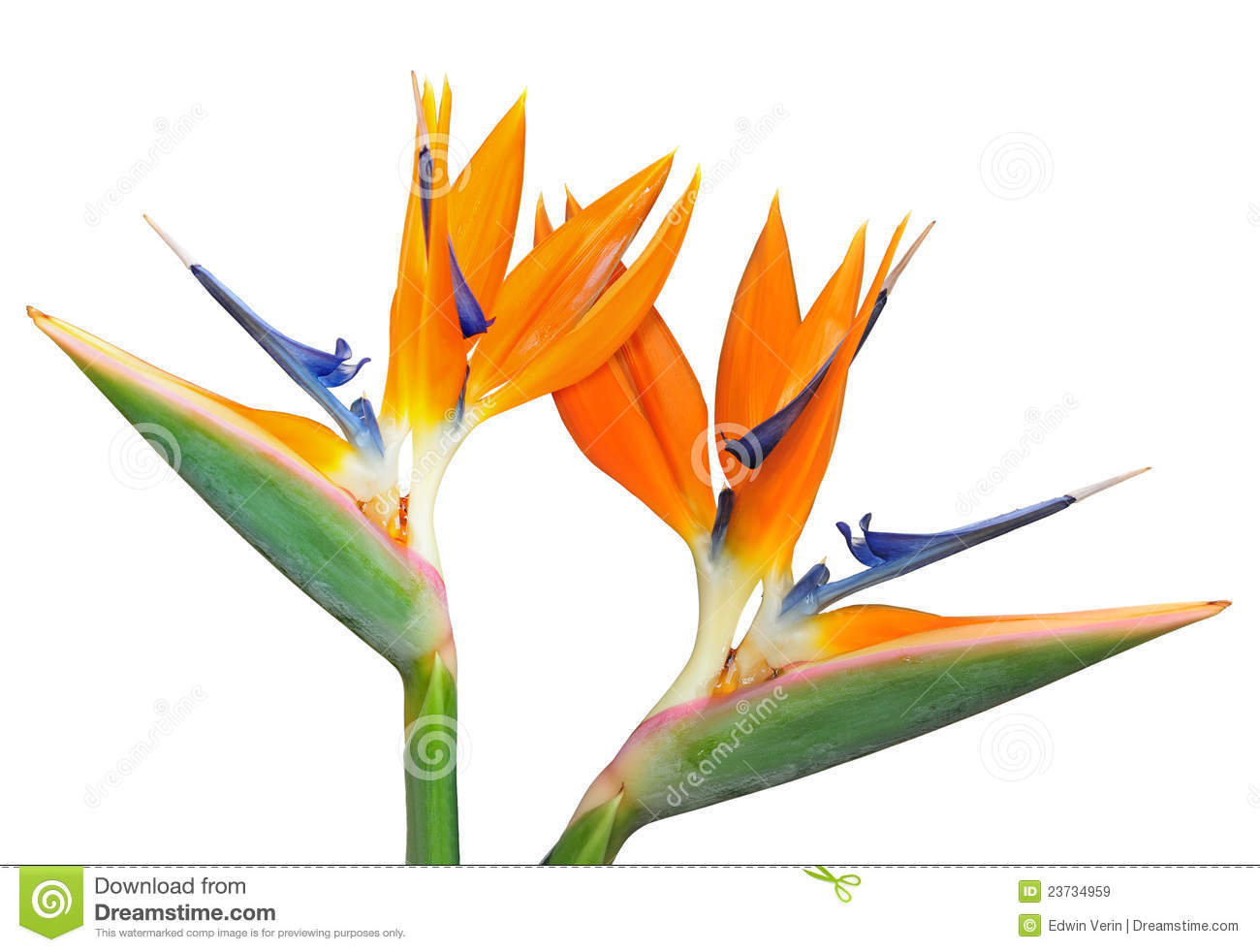 1300x982 Bird Of Paradise Clipart Vintage