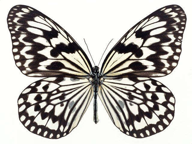 640x480 Butterfly Free Stock Photo A Yellow And Black Butterfly