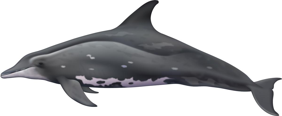 1200x493 Noaa Pifsc Cetaceans
