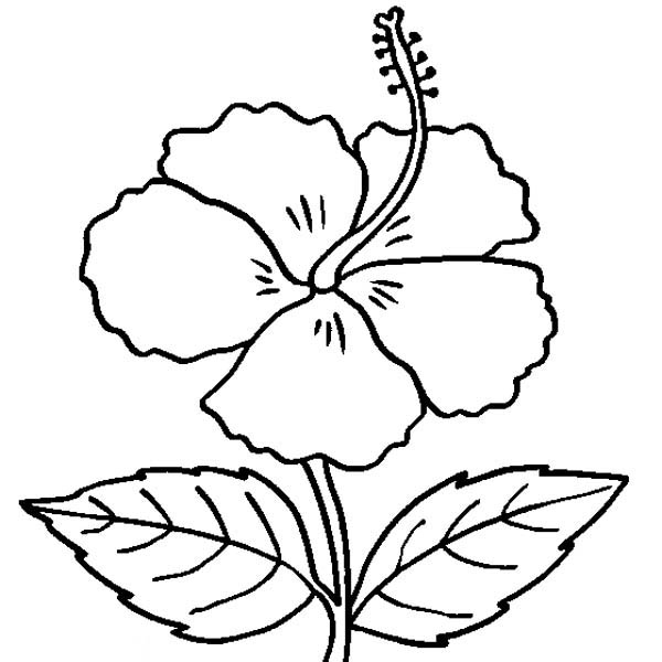 600x600 White Hibiscus Clipart