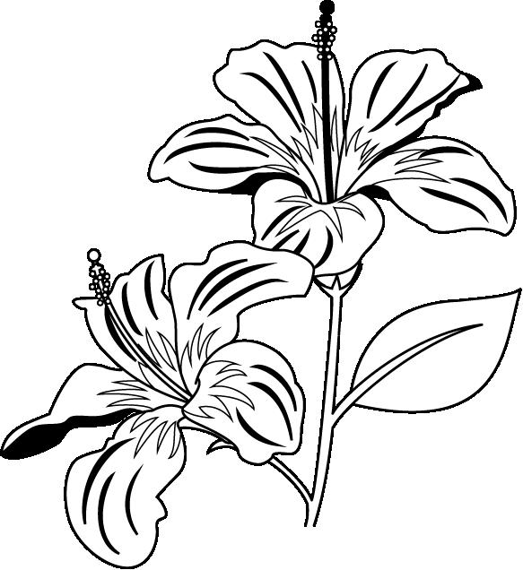 583x636 Gumamela Flower Clipart Black And White