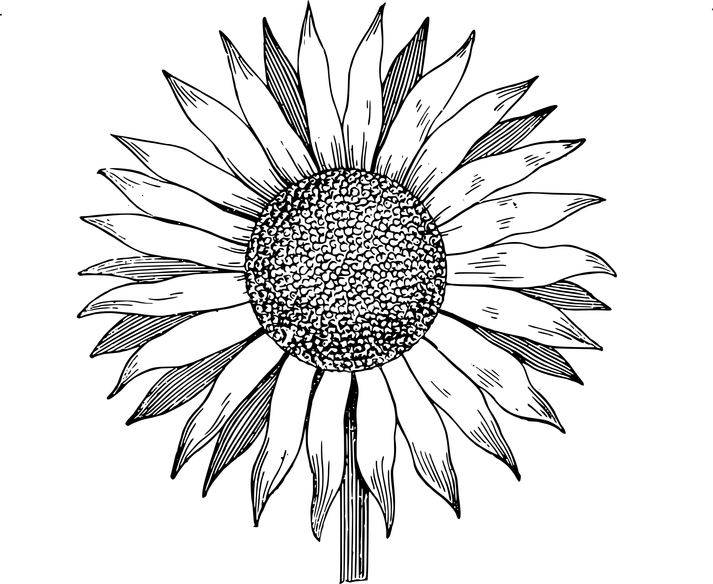 3000x2457 Drawn Sunflower Black And White