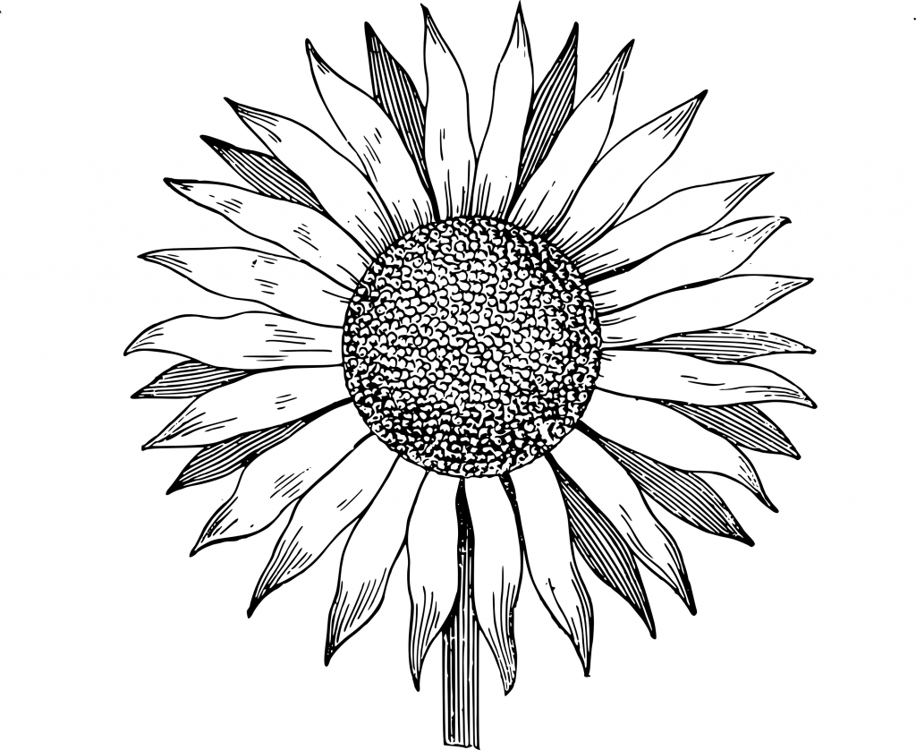 Black And White Sunflower Drawing | Free download on ...