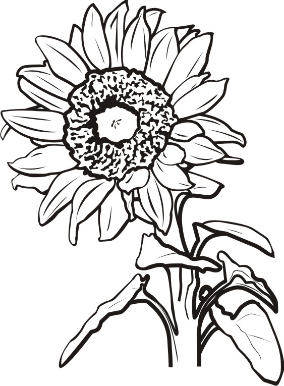 563x765 Sunflower Clipart Black And White