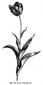 152x300 Tulip Clipart, Black And White Graphics, Botanical Flower