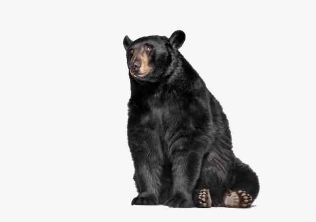 650x457 Black Bear, Animal, Biological Png Image For Free Download