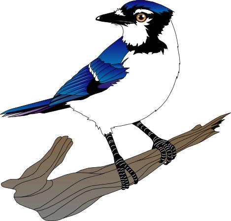 469x448 Blue Jay Clipart