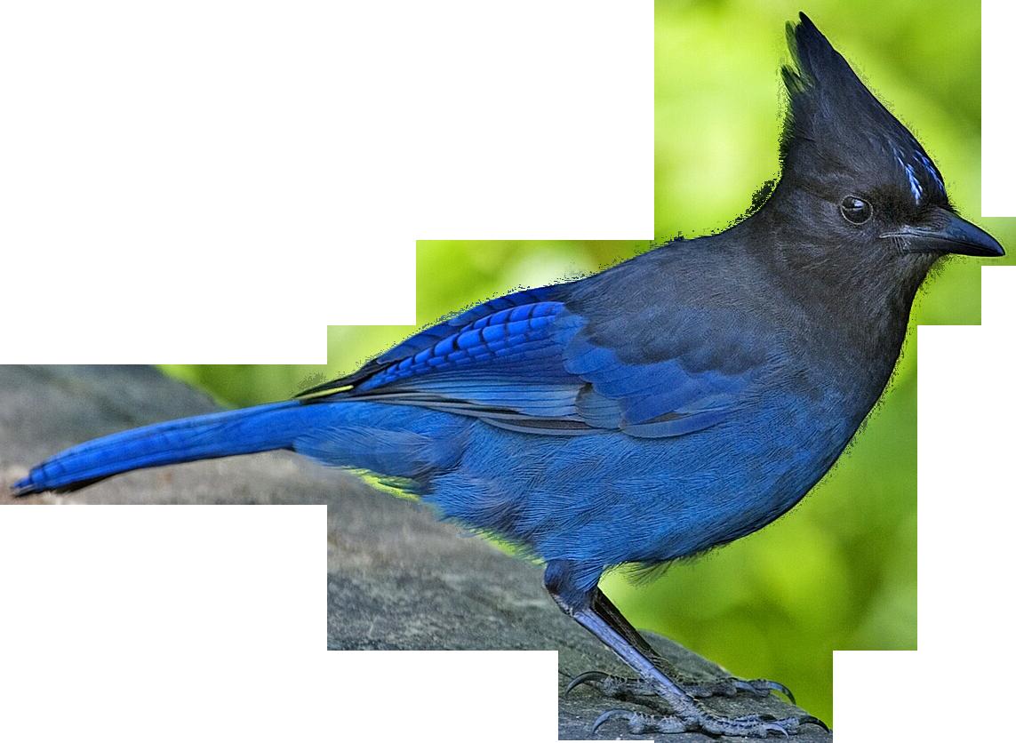 1143x836 Blue Jay Clipart Jay Bird
