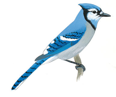 386x322 Blue Jay clipart sketch