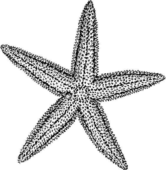 564x577 Star Fish Clip Art