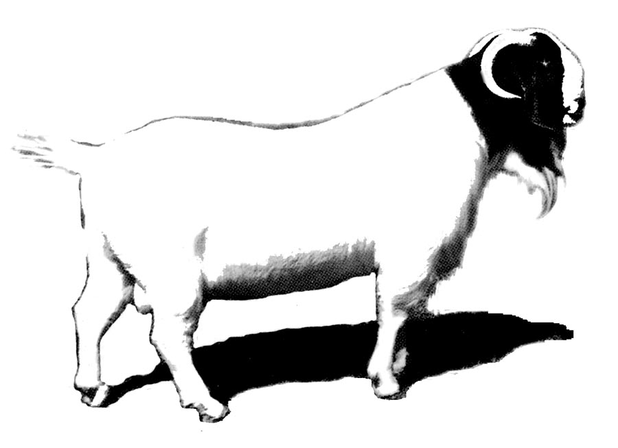 900x653 Best Boer Goat Clip Art