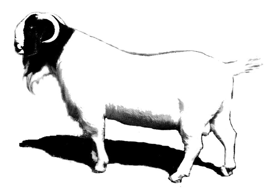 900x653 Boer Goat Clipart
