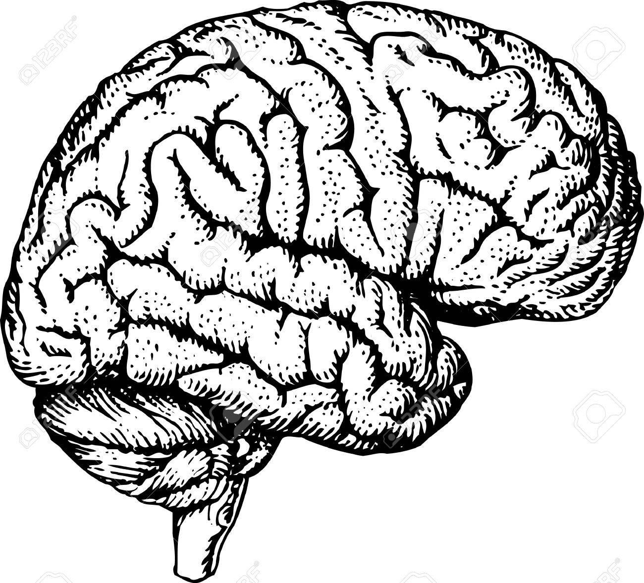 1300x1177 Human Brain Royalty Free Cliparts, Vectors, And Stock Illustration