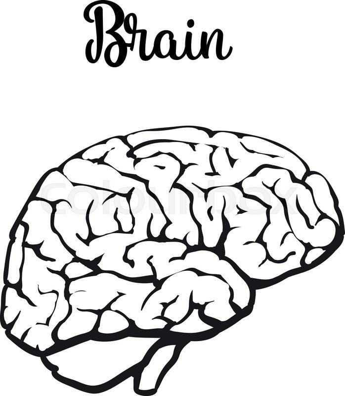 698x800 Human Brain, Vector Illustration Sketch Of Brain Isolated On