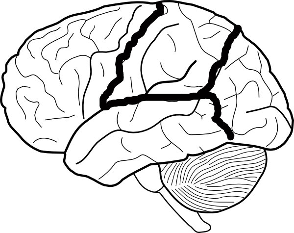 600x475 Brain Skech With Lobes Outlined Clip Art