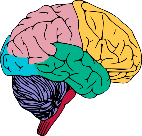 600x576 Brain Free To Use Clip Art