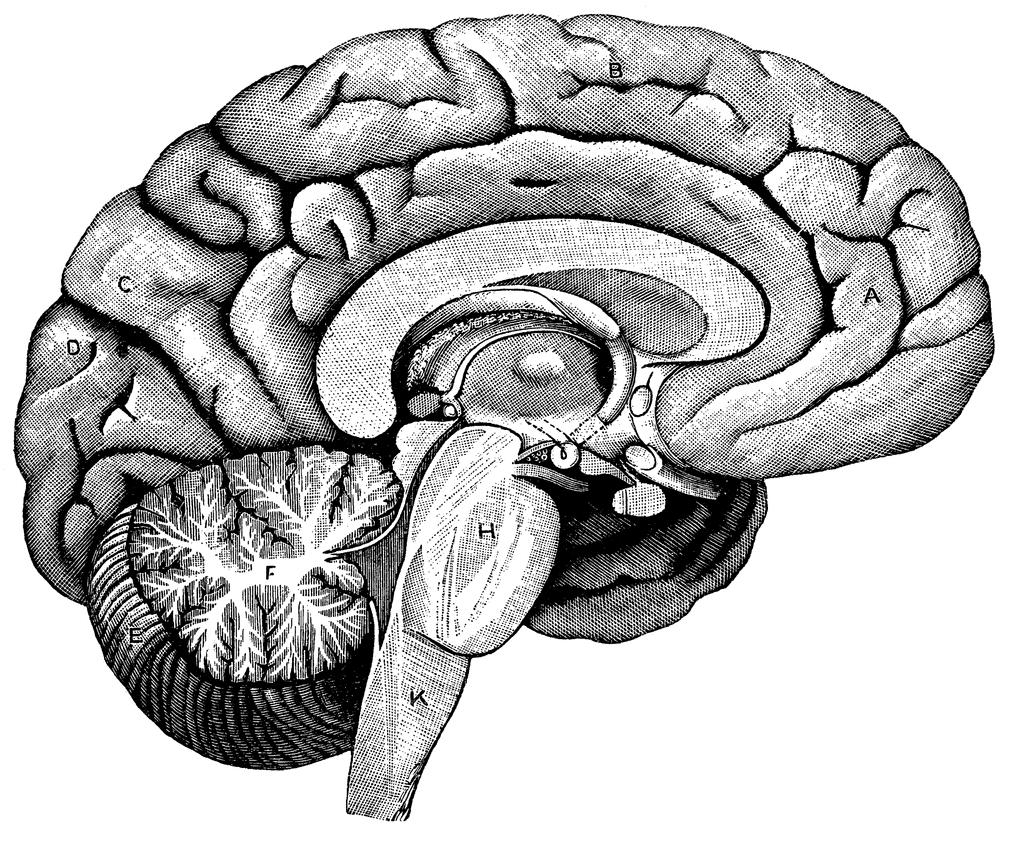 1024x843 Human Brain Diagram Unlabeled Brain Anatomy Model Labeled